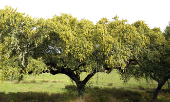 Cork tree in Alentejo, Portugal